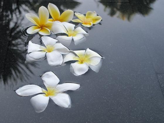 Bali frangipanis