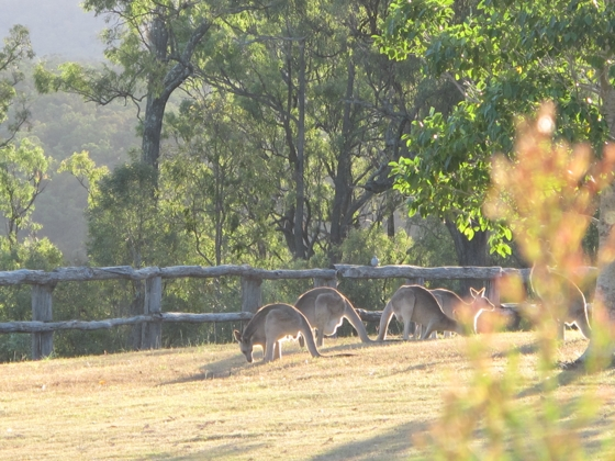 Spicers Hidden Vale  - kangaroos grazing in the afternoon sun