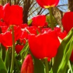 FEATURED Tulips