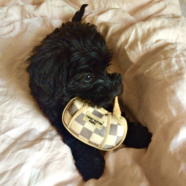 Clementine the Schnoodle and her Chewy Vuitton bag